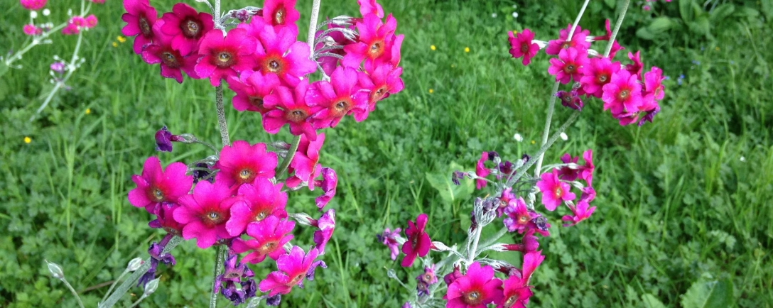 image of pink flowers in Scotland