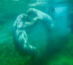 image of polar bear mother with cub in water in San Diego