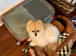 Teacup Pomeranian Sitting in a Suitcase